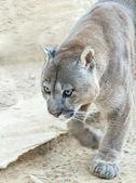 Puma walking — Stock Photo