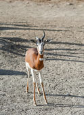 Dama Gazelle — Stock Photo