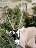 Scimitar Horned Oryx — Stock Photo
