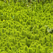 Stock Photo: Field of horsetail (Equisetum)