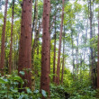 Stock Photo: Acores cedar forest on flores