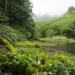 Stock Photo: Taro Colocasiesculent- plants of acores archipelago
