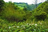 Calla palustris - plants of acores archipelago — Stock Photo