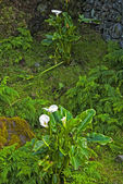 Calla palustris - plants of acores archipelago — Stock Photo