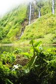 Taro Colocasia esculenta plants of acores archipelago — Stock Photo