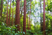 Acores cedar forest on flores — Stock Photo