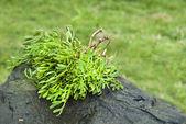 Crithmum maritimum plants of acores archipelago — Stock Photo