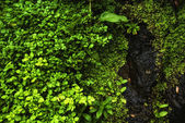 Watercress plants of acores archipelago — Stock Photo