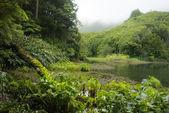 Taro Colocasia esculenta - plants of acores archipelago — Stock Photo