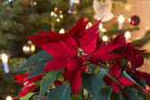 Winter Rose - Poinsettia — Stock Photo