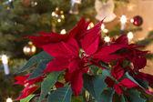 Winter Rose - Poinsettia — Stock Photo