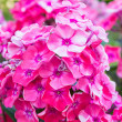 Red phlox — Stock Photo #12017370