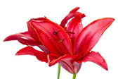 Red lily — Stock Photo