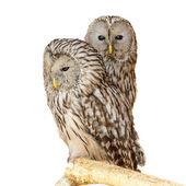 Ural Owl — Stock Photo