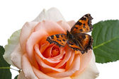 Borboleta em uma rosa — Fotografia Stock