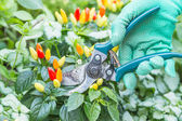 Pruning shears and chili pepper — Stock Photo