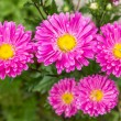 Pink asters — Stock Photo