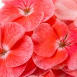Royalty-Free Stock Photo: Pink geranium flowers