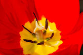 Pistil and stamen tulip — Stock Photo