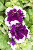 Purple petunias with white trim — Stock Photo