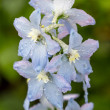 Delphinium flowers after the rain — Stock Photo