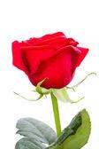 Una rosa roja — Foto de Stock