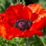 Scarlet poppy — Stock Photo #28427163