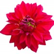 Red dahlia on white  — Stock Photo