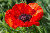 Scarlet poppy — Stock Photo