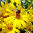 Bumblebee on yellow daisies — Stock Photo