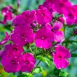 Phlox after rain — Stock Photo