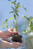 Tomato seedlings in the greenhouse — Stock Photo