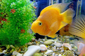 Cichlid (red parrot) — Stock Photo