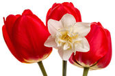 Three tulips and narcissus — Stockfoto