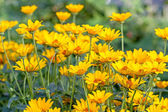 Background of  bright yellow daisies — Stock Photo