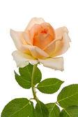 Beige rose — Stock Photo