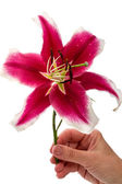 Large burgundy lily in hand — Stock Photo