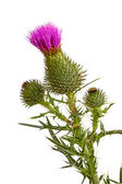 Blossoming Thistle — Stock Photo
