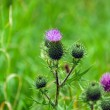 Stock Photo: Marithistle flower (Silybum marianum)