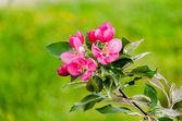 Flowering crabapple blooms — Stock Photo