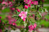 Flowering crabapple blooms — Stock Photo