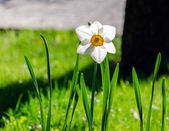 Beautiful white daffodils in the spring time — Stock Photo