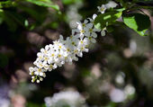 Bird cherry (Prunus padus) flower — Stock Photo