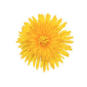 Yellow flower isolated on white — Stock Photo
