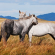 Two grey horses in mongolia — Stock Photo