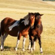 Two horses in mongolia — Stock Photo