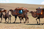 Caravan of camels in Mongolia — Stock Photo
