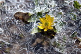 Yellow flower rising from the ice — Stock Photo