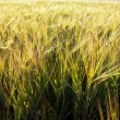 Green wheat field — Stock Photo #19752325