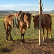 Horses on a leash - Stock Photo